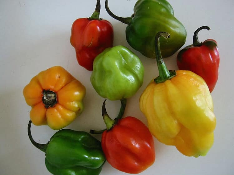 Scotch Bonnet Pepper The Caribbean Chili Of Choice