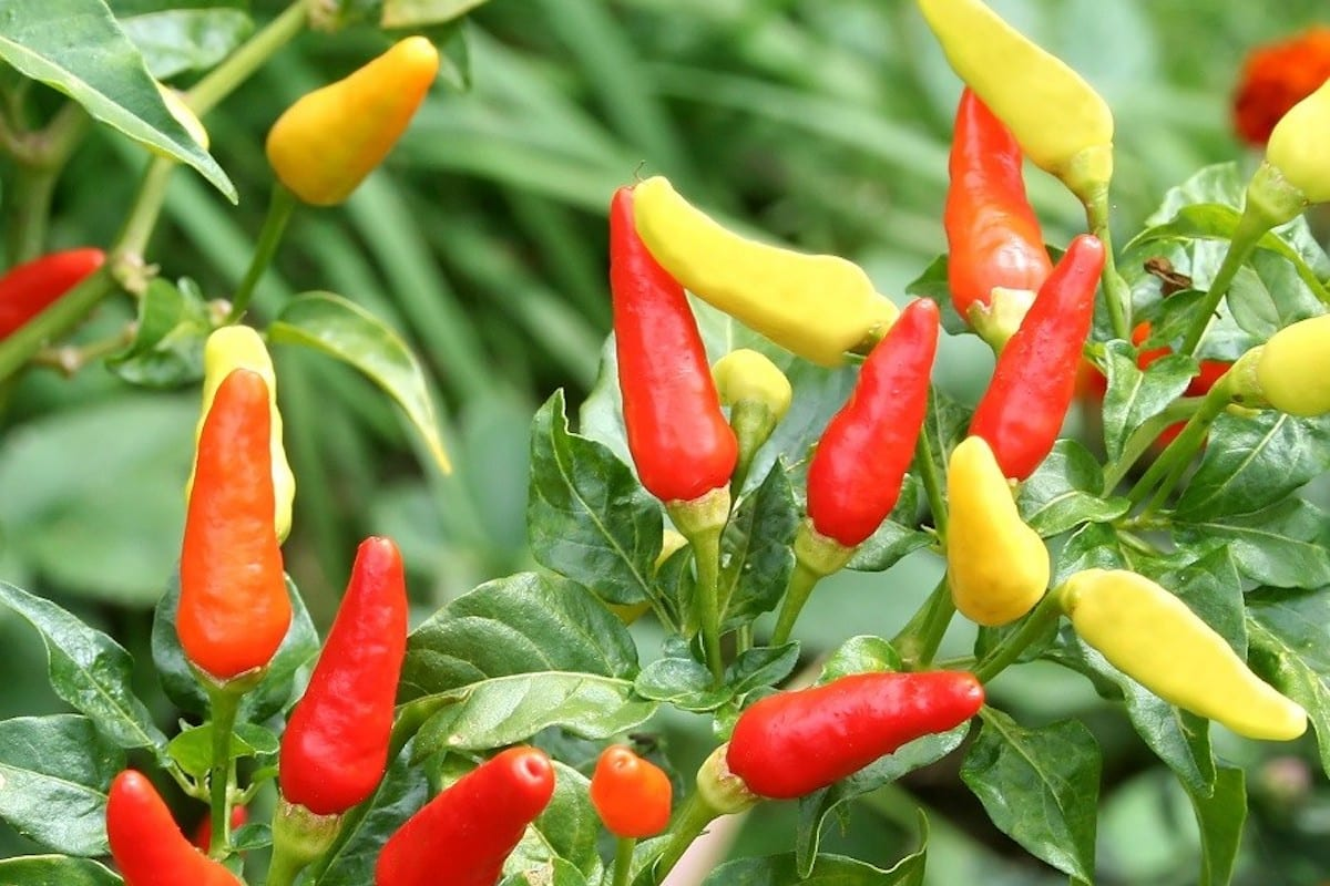 Tabasco Pepper: The American Chili Staple