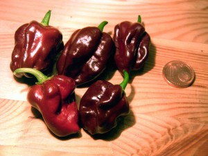 What Is A Chocolate Habanero?