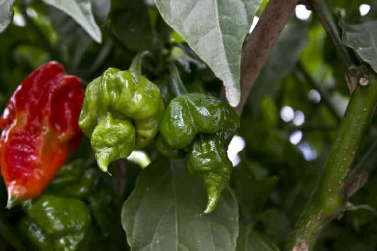 Trinidad scorpion vs ghost pepper