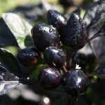 Black Peppers Guide: Dramatic Looks All Around