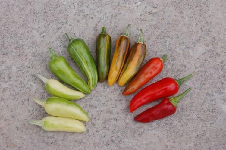 Fish Pepper: Resurrecting Baltimore's Chili Pepper Past