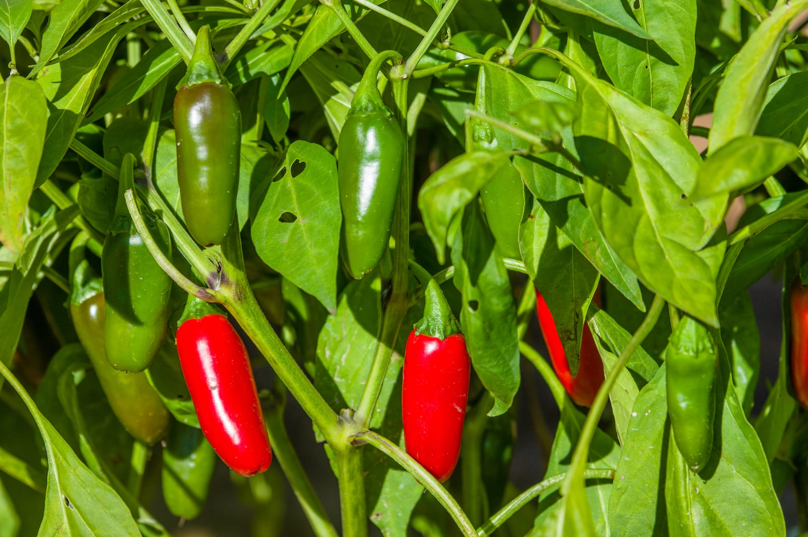 Important Tips For Growing Jalapeños