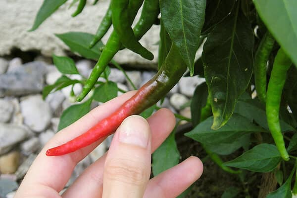 Small Space Spice: Growing Hot Peppers in Containers