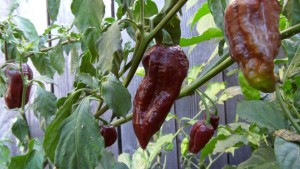 Bhut Jolokia Chocolate: A More Subtle Ghost