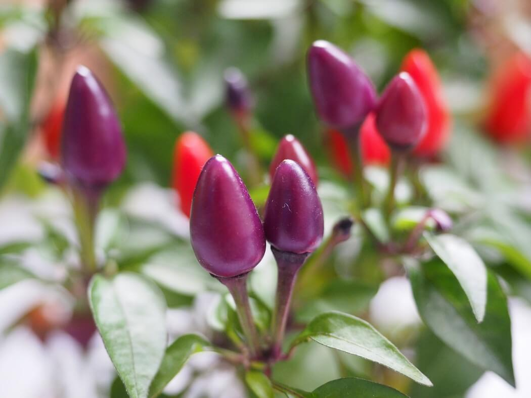 Can You Eat Ornamental Peppers? - PepperScale