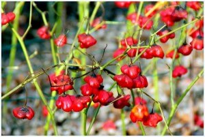 Capsicum Baccatum:  Berry-Like And Bold