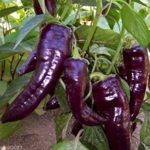 Purple Marconi