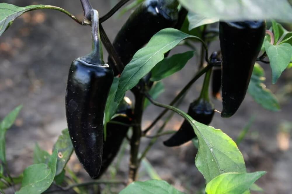 Black Hungarian Pepper: Dark Beauty