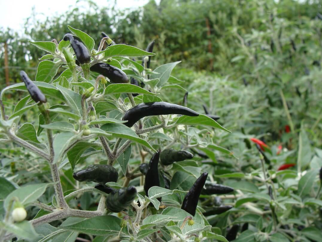 Black Cobra Pepper: Head Raiser