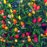 Ornamental Peppers Guide: The Bold And The Colorful