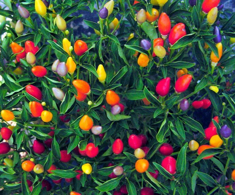 ornamental peppers guide the bold and the colorful