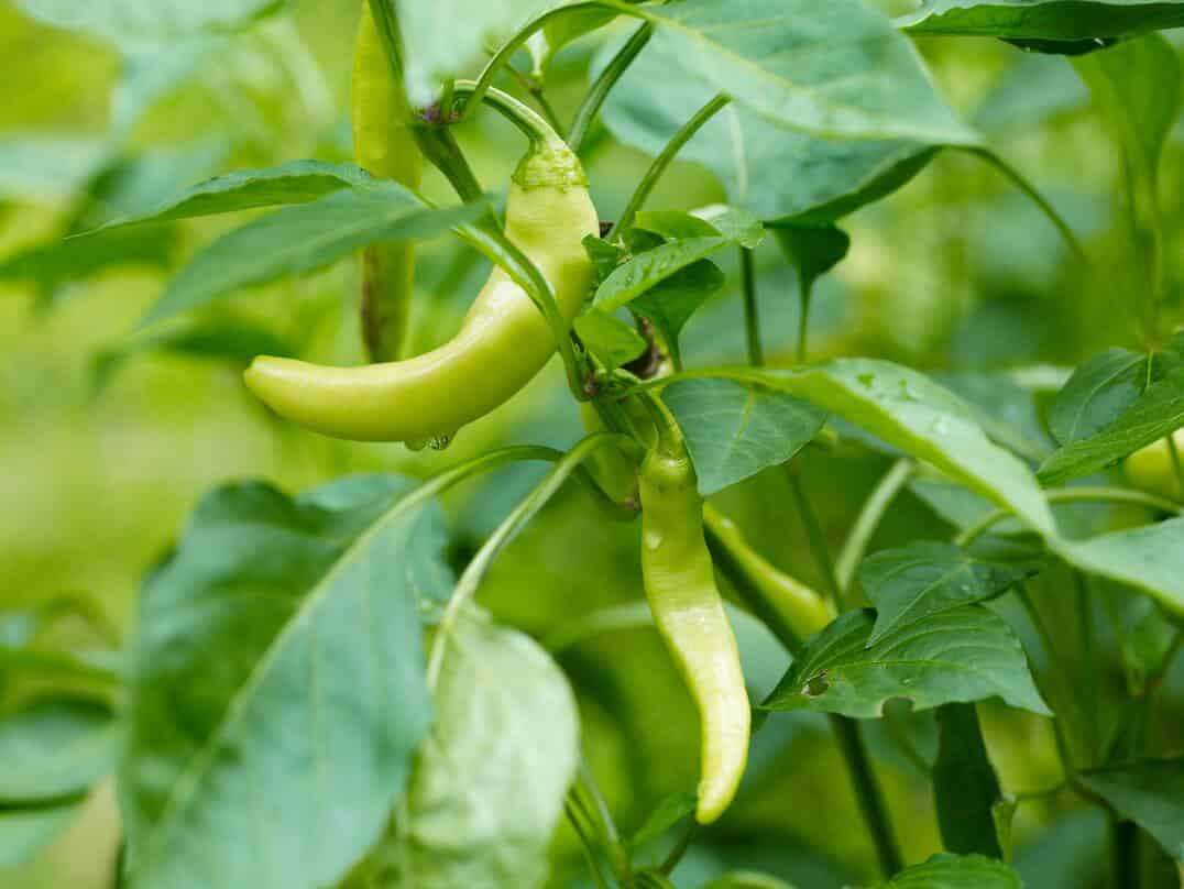 The Pepperoncini Planting Guide: A To Zing