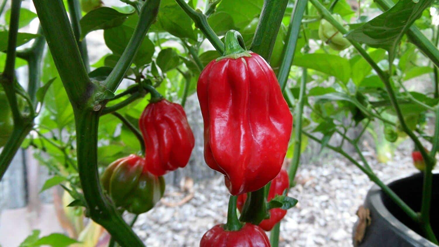 Aji Chombo: The Fiery Panamanian Pepper