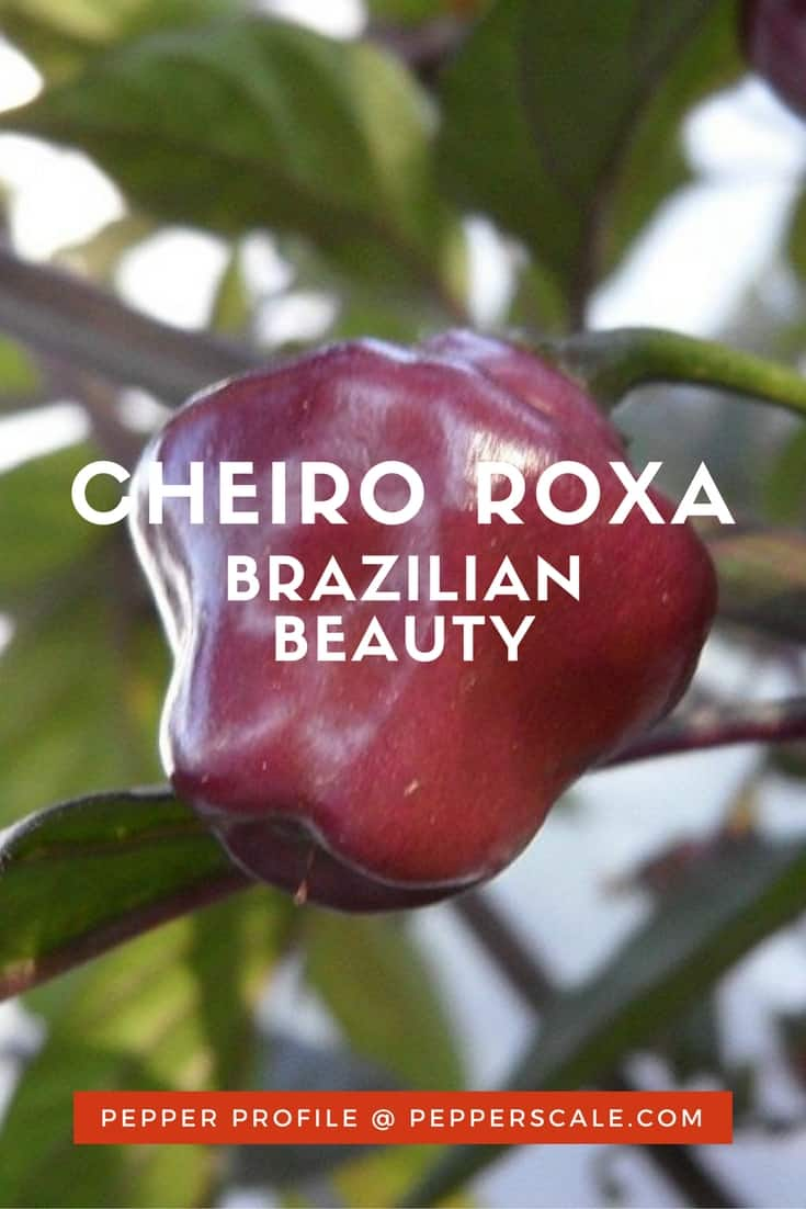 The cheiro roxa is a purple beauty that many consider one of the prettiest peppers for landscaping. It delivers both heat and a delicious fruity flavor.