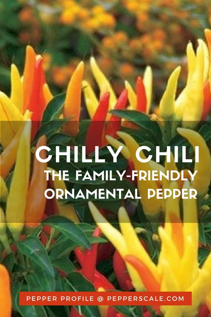 Behind the beauty of most ornamental peppers lies intense heat, but not the Chilly Chili. These peppers are closer to a bell pepper in spiciness.