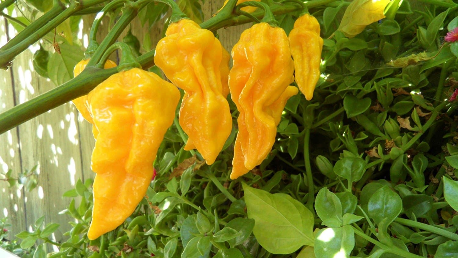 Devil's Tongue Pepper: Hotter Than Hell