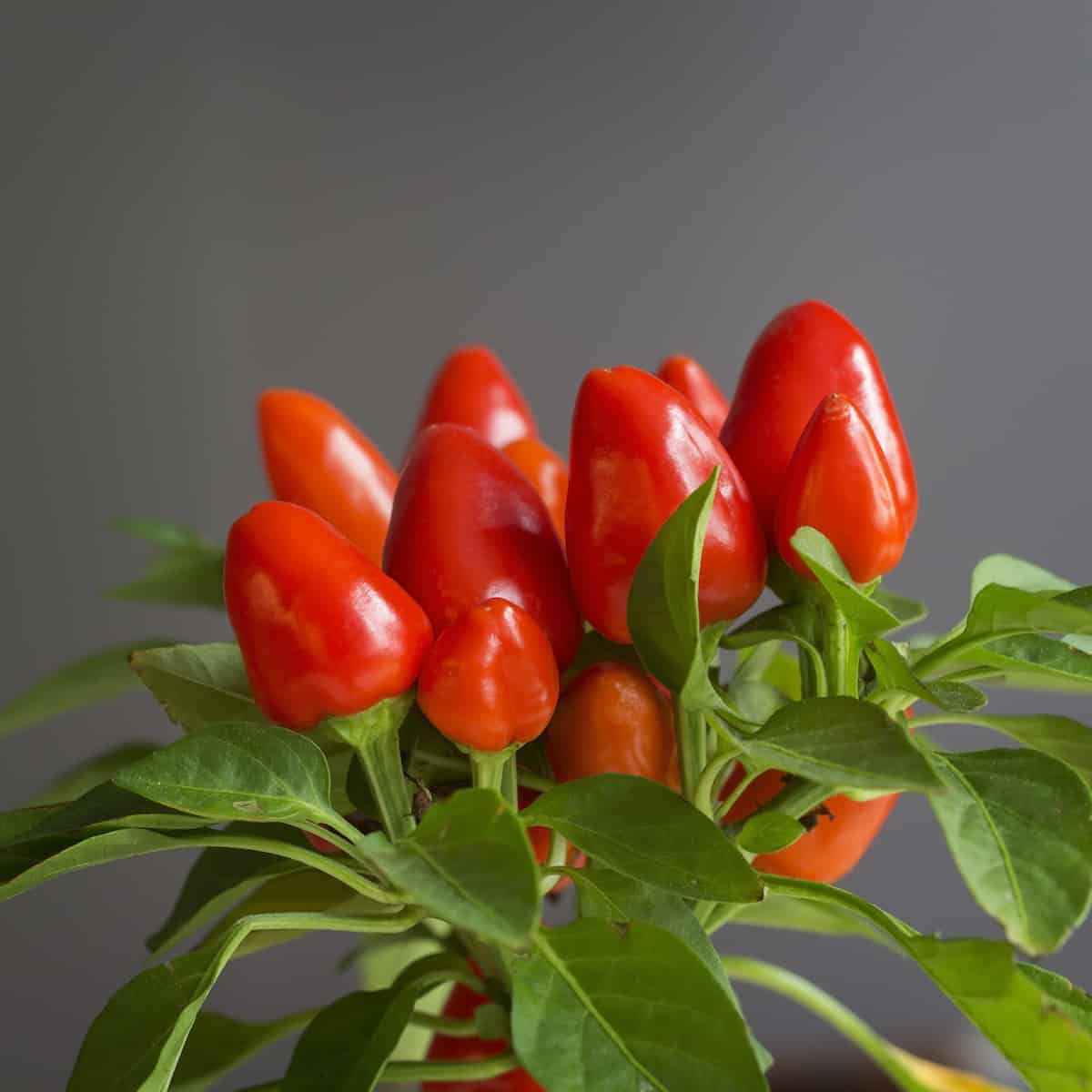Growing Hot Peppers Indoors: The Basics