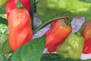 Hinkelhatz Pepper: The Pennsylvania Dutch Pickler