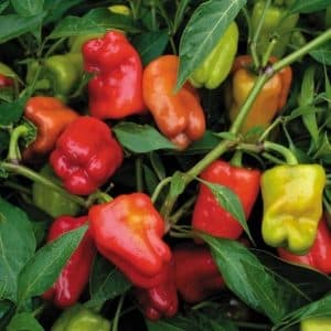 Cajun Belle Pepper: A Bolder Sweet
