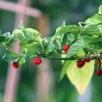 Dragon's Breath Pepper: Earth Melting Heat