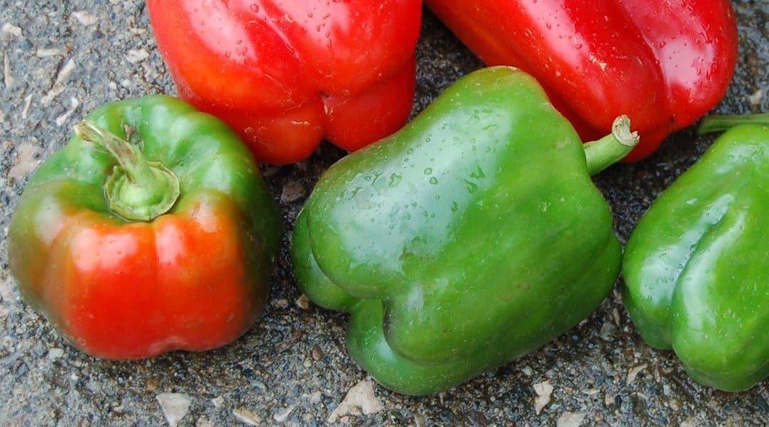 California Wonder Pepper: A Bell Standard