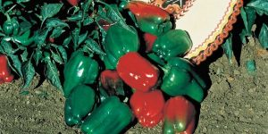 Mexibell Pepper: Sweet Sizzle