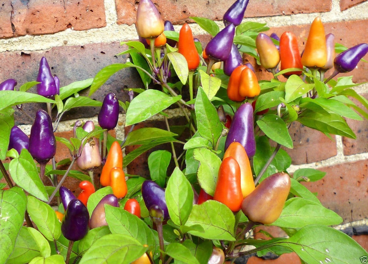 Aurora Pepper: Lighting Up A Garden
