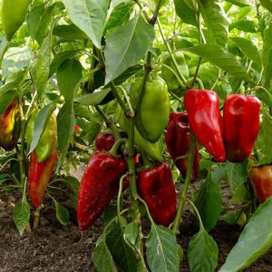 Carmen Pepper: Sweet Pepper, Hot Looks