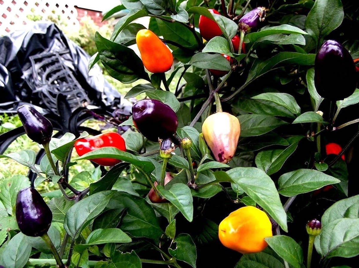 Chinese 5-Color Pepper: Unexpected Shades