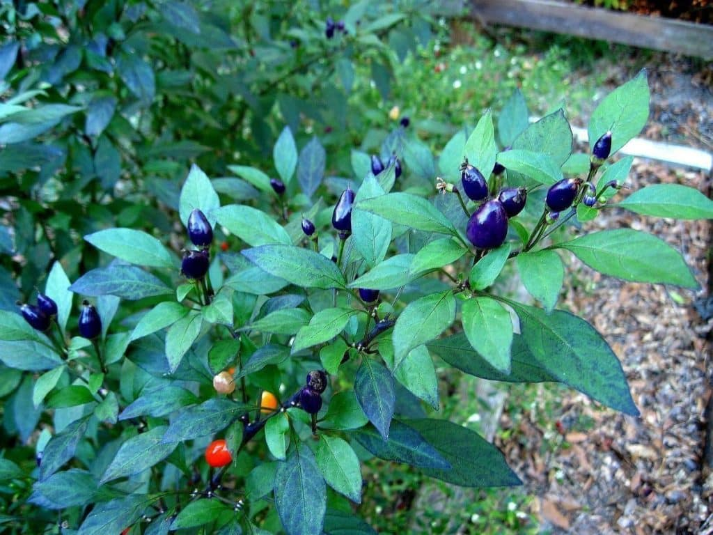 filius blue pepper