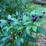 Filius Blue Pepper: Indigo Bite