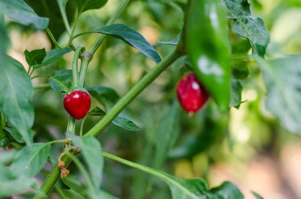 Chiltepin Pepper: Big Heat In A Tiny Package