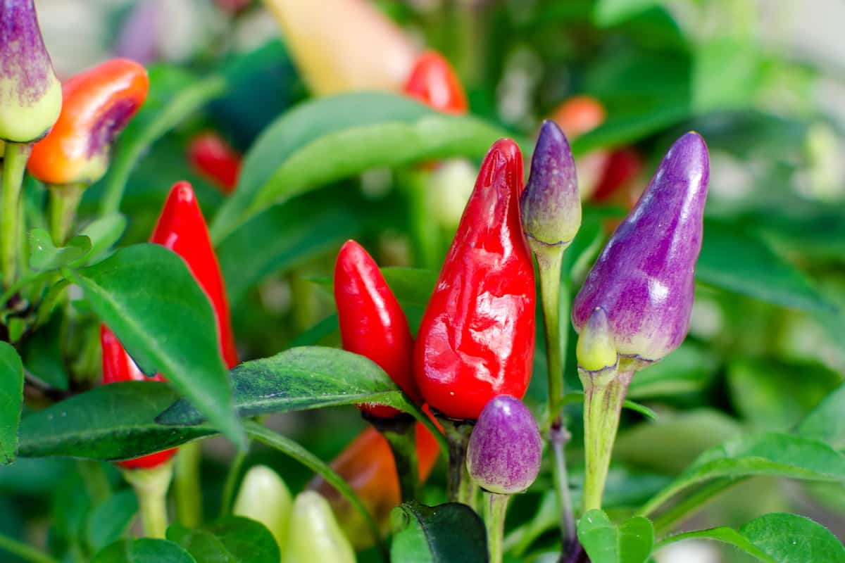 Colorful Peppers Guide: The Rainbows Of The Scoville Scale