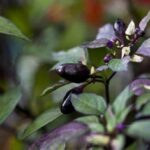 Calico Pepper: Leaves Of Beauty