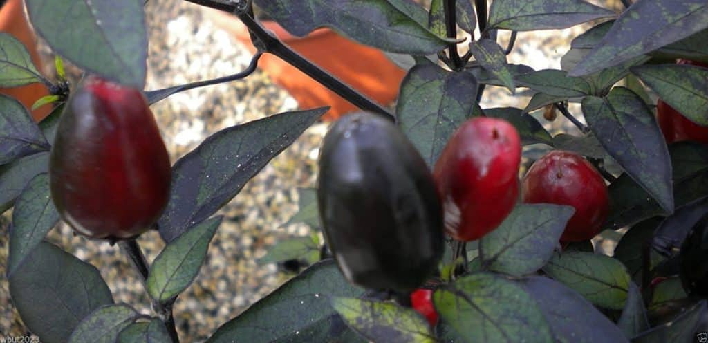 Black Cuban pepper