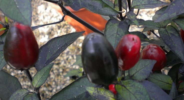 Black Cuban Pepper: Detailed In Dark