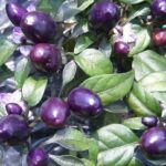 Pretty In Purple Pepper: A Royal Glow