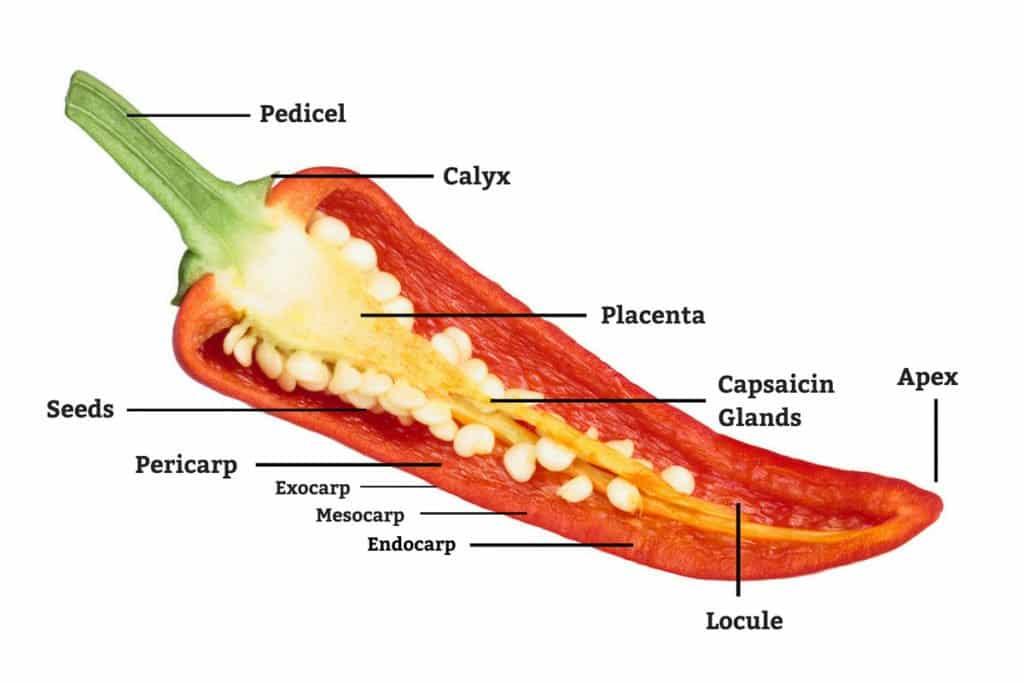 pepper anatomy