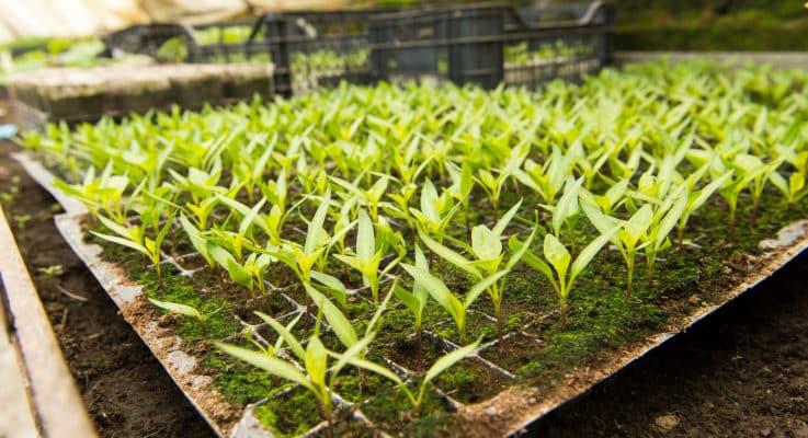 Cultivar Vs. Variety Vs. Hybrid: PepperScale Showdown