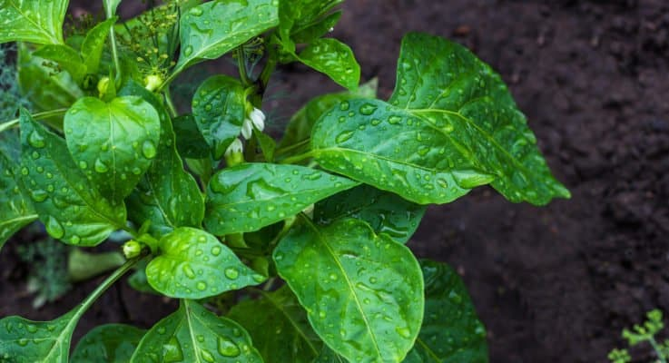 Watering Pepper Plants: The Dos And Don'ts