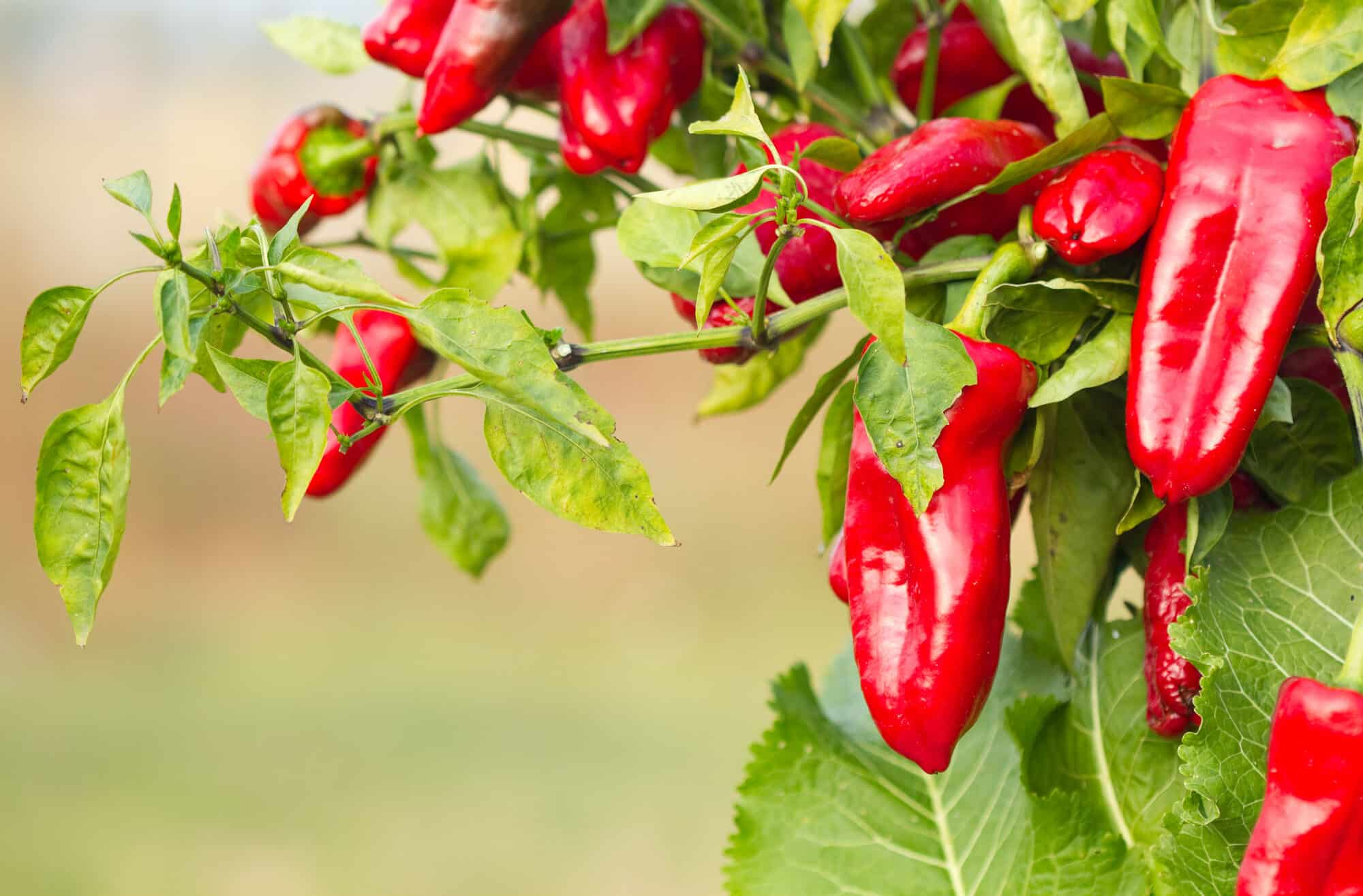What Is A Hybrid Plant? A Pepper-Focused Breakdown