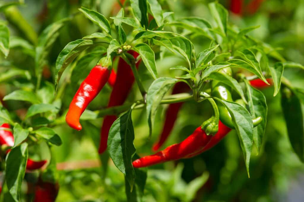 Fresh cayenne pepper on the vine