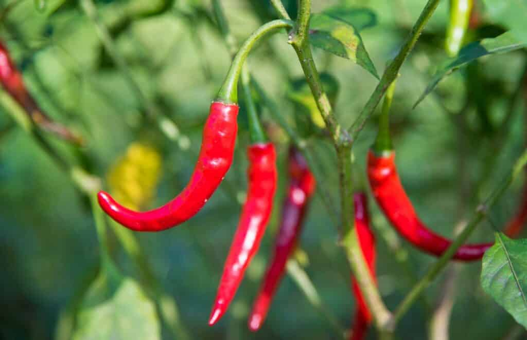 Fresh chile de arbol